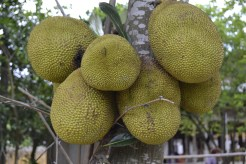 jackfruitwow