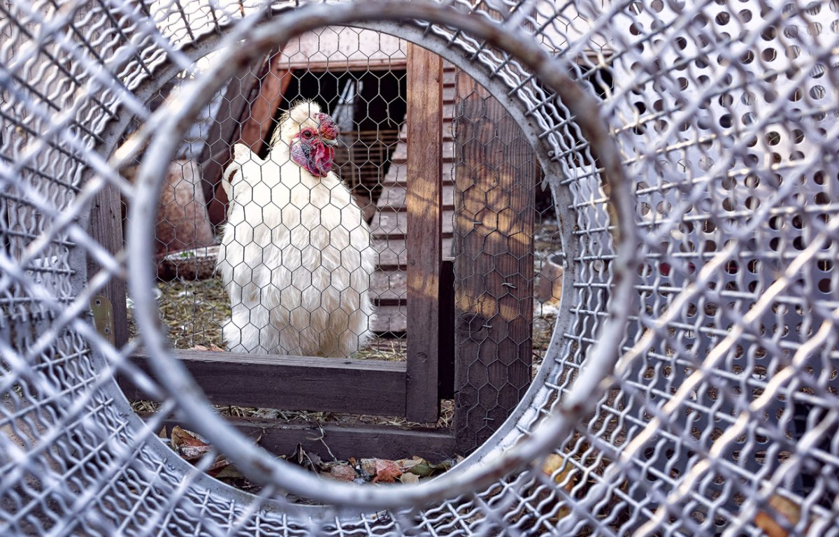Chickens in the chicken coop