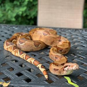 Snake Georgetown Veterinary Hospital