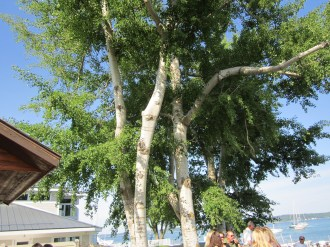 Beautiful old birch trees in Traverse City