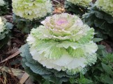 Doesn't this ornamental kale look delicious?