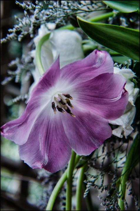 Tulip in the Pergola