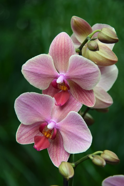 Birthday-Orchid_Glenda