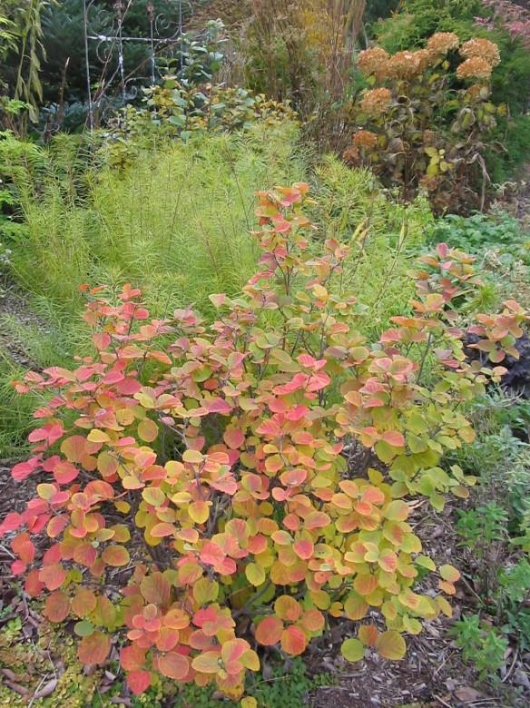 Types Dwarf Spirea Plants