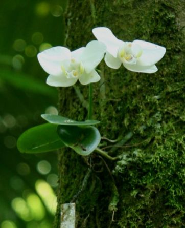 Foto: aboutorchids.com
