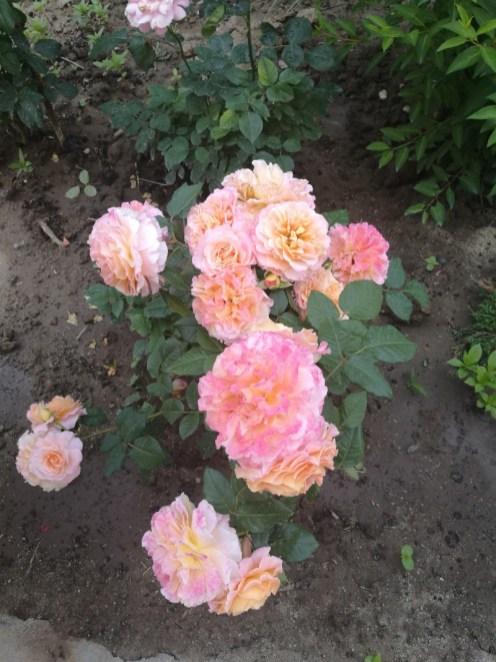 Trandafir roz oranj