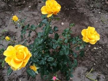 Trandafir galben