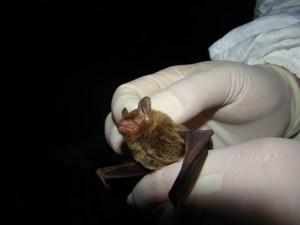 Southeastern bat (Myotis austroriparius)