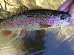 Delayed harvest rainbow trout from the Chattooga.