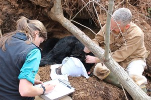 UGA bear researchers collaring a sow bear in a den.