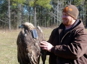 This photo shows the radio transmitter that was successfully attached to the golden eagle.
