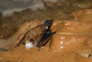 Dead bat hangs to the wall at Anderson Springs (Photo by: Pete Pattavina, USFWS)