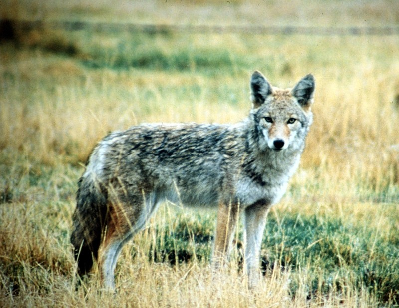 Coyote Challenge Contested: Correcting Misconceptions