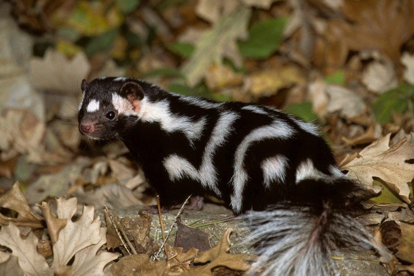 Eastern spotted skunk (Bob Gress)