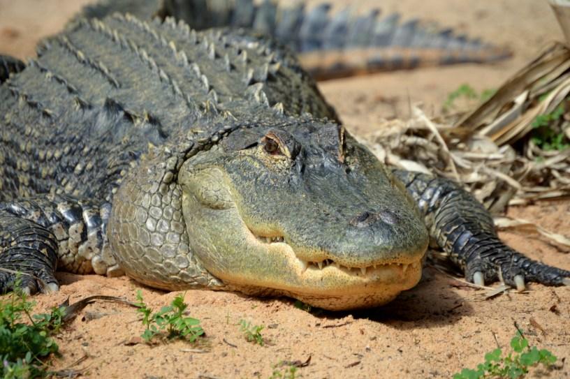 Alligator Quota Hunts Georgia Wildlife Blog