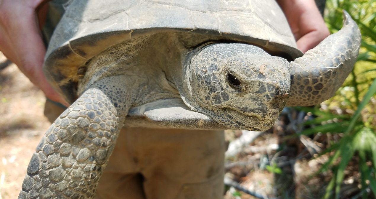 A Day in the Life of a Gopher Tortoise Technician