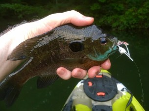 sunfish bluegill Lake Russell 8-12-17 small