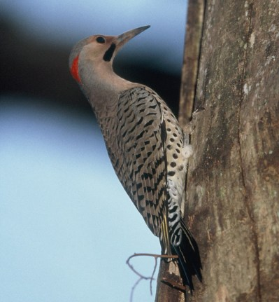 Northen Flicker.Phillip Jordan