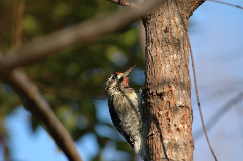 Yellow-bellied Sapsucker9(male).Todd Schneider