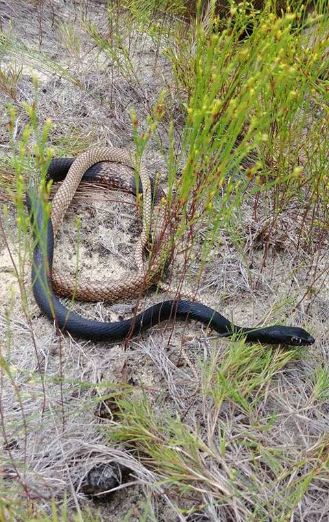 Eastern coachwhip (Photo by: Shelby Telfer)