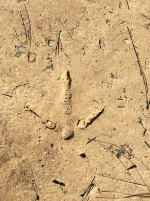 Eastern wild turkey gobbler track