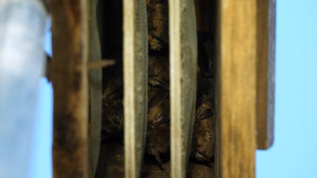 Bats in bat houses still from video for georgia wild bats heidi dnr