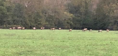 elk herd cherokee 10-20-18