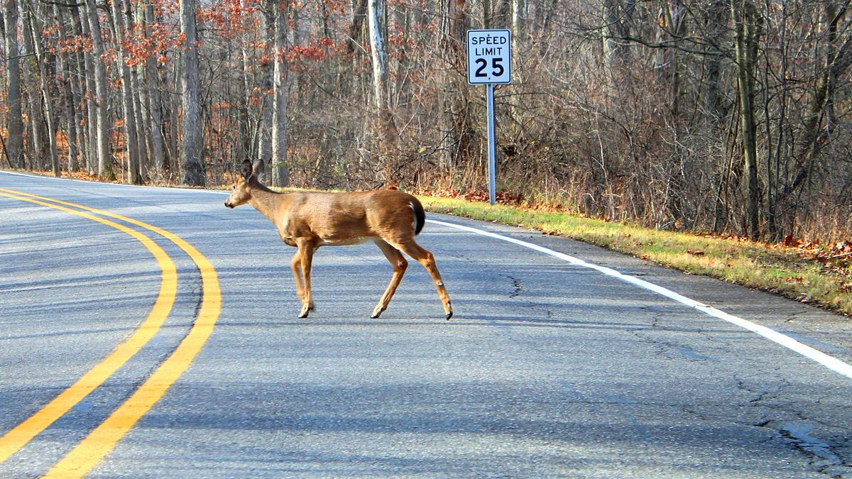 Don't Veer For Deer – 5 Safe Road Travel Tips
