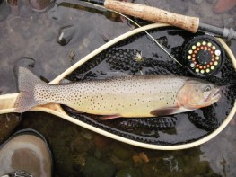 trout cutt soda butte Sept 2010 small