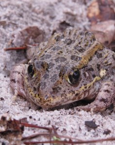 brown-gray-pinkish frog looks at the camera, sourrounded by sandy soil the same color