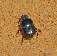 sandy soil close-up, and in the center of frame a dark, iridescent beetle with a distinctly scarab-segmented shell