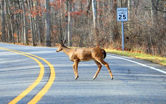 White-tailed deer doe crossing road.