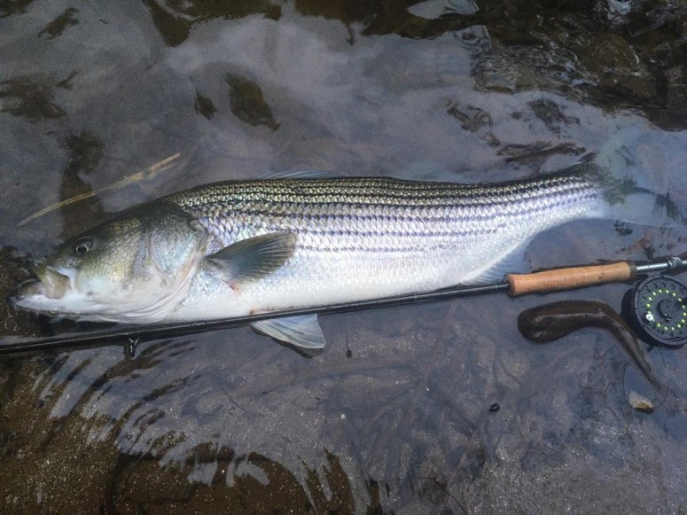 Striped bass are seeking cooler waters
