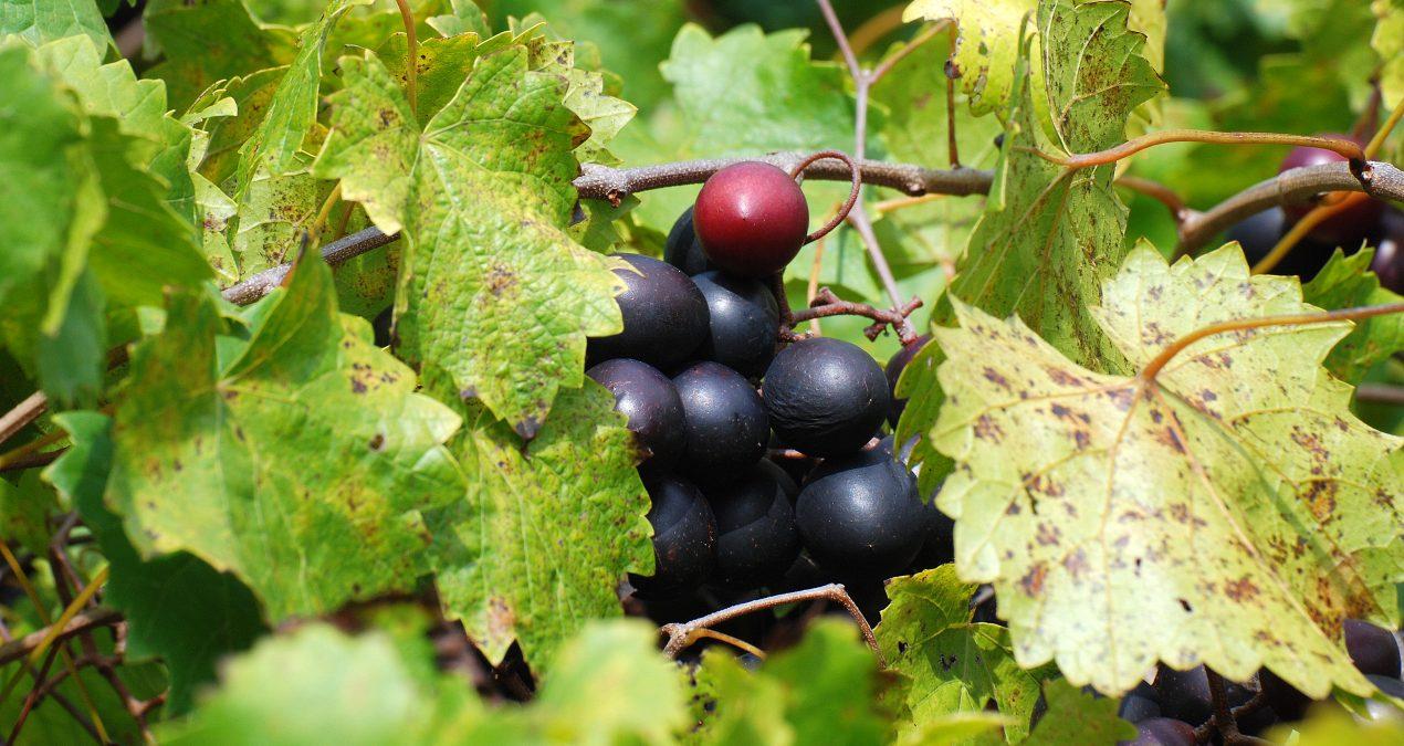 The Go-To Grape for Wildlife