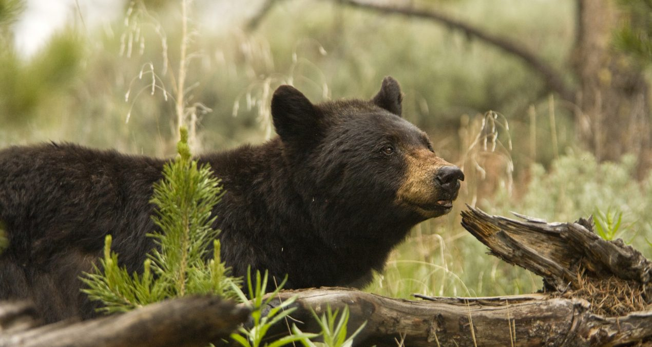2020 Bear Season Outlook