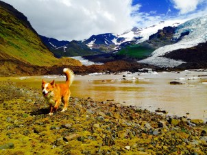 This a local dog, who decided to follow us one day while we were carrying out my fieldwork. In the background is Virkisjokull glacier.
