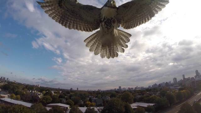 Hawk Attacks a Drone