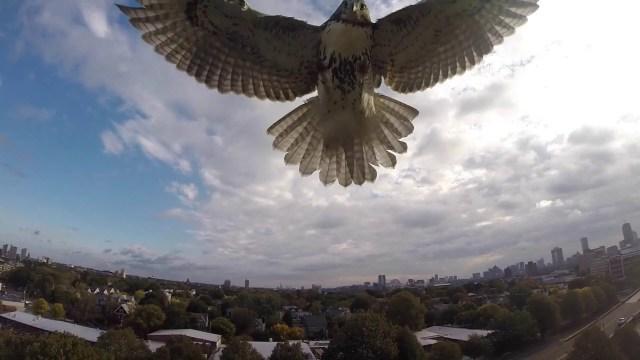 Hawk Attacks a Drone