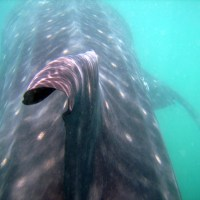 Whaleshark lovin' and more at Donsol, Sorsogon