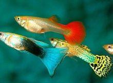 Ikan guppy lucu
