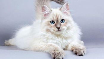 Kucing Maine Coon Ras Kucing Besar Yang Lucu Untuk Dipelihara