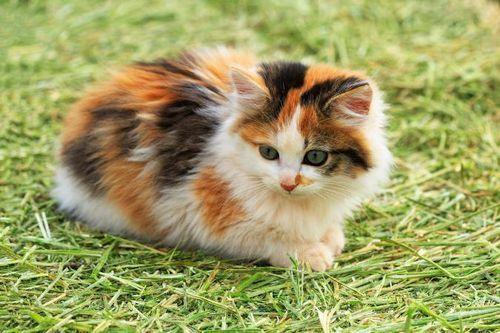 Kucing calico