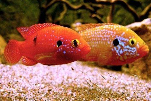 Ikan Jewel Cichlid