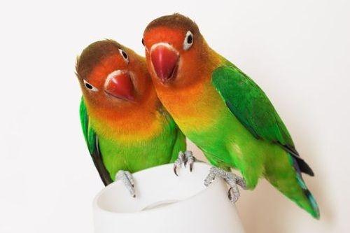 Lovebird gacor