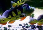 Gambar ikan predator murah
