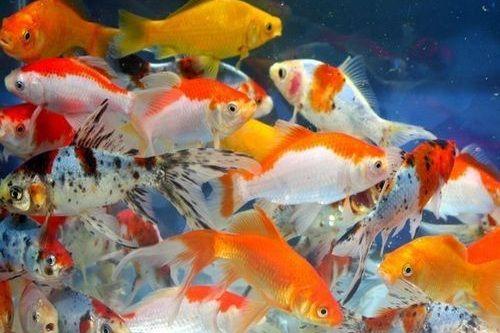 Ikan Mas Koki Lucu