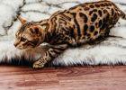 Kucing mogok makan