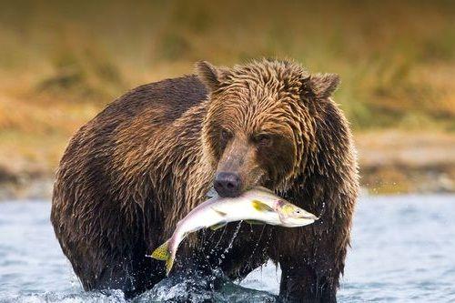Beruang makan