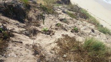 new plantings on an exposed front of the dune