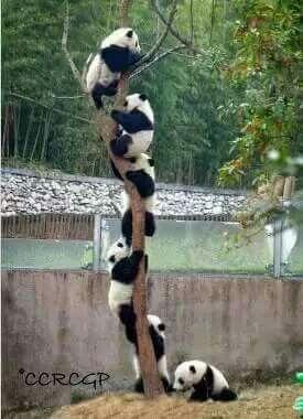 panda boom https://www.pinterest.com/pin/AenbNcInJT3ml5F5JXBOhGSZ4BBQdXf7eZ9YJ3n_DEt70imI-GZ7i14/
